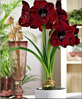 amaryllis black pearl amaryllis kaufen. Black Bedroom Furniture Sets. Home Design Ideas